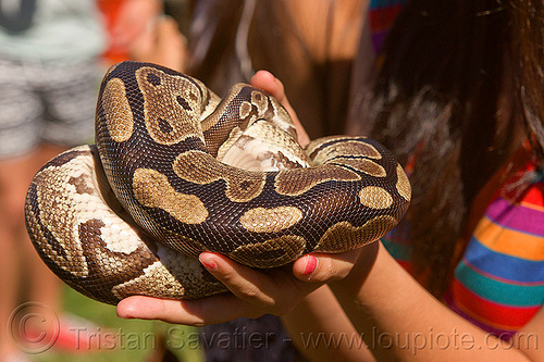 holding a curled python pet snake, coiled snake, curled, dolores park, gay pride festival, hands, holding, pet snake, python, reptile
