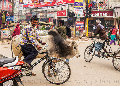 holy bull oblivious to traffic (india), holy bull, india, street cow, traffic, varanasi
