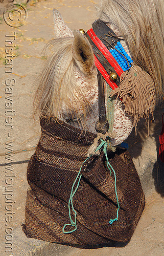 horse feed bag, draft horse, draught horse, eating, feed bag, head, work horse