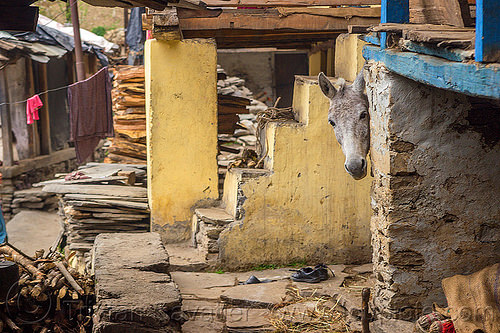 horse pick-a-boo (india), grey, head, horse, house, india, janki chatti, village