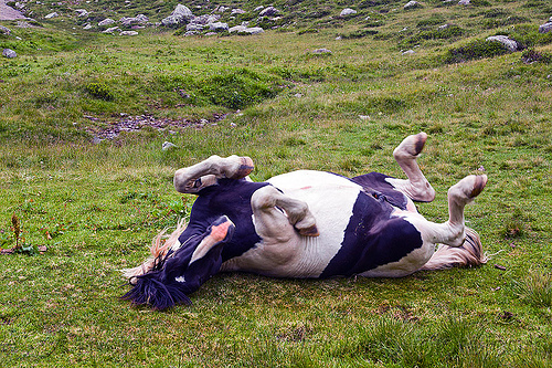 horse rolling on its back, feral horse, field, grassland, pinto coat, pinto horse, rolling, stallion, stud, turf, white and black coat, wild horse
