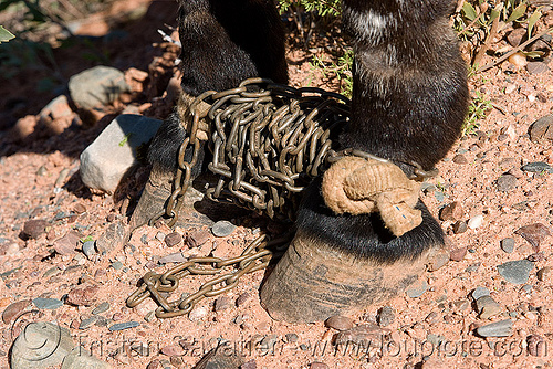 horse shackles, asinus, chains, donkey, equine, equus, feet, legs, mule, noroeste argentino, pony, restraint, shackled, shackles, working animal