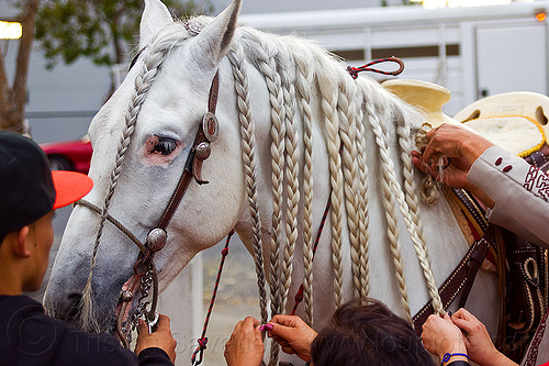 horse with braided hair, braid, braided horse, braiding, bridle, hands, horse head, people, white horse