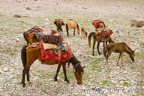 horses - nomad tribe - drass valley - leh to srinagar road - kashmir, caravan, dras valley, drass valley, kashmir, kashmiri gujjars, mountains, muslim, nomads, pack animal, pack horses, zoji la, zoji pass, zojila pass
