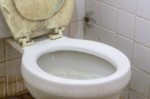 huntsman spider on the wall (philippines), giant crab spider, heteropoda venatoria, huntsman spider, philippines, restroom, sparassidae, toilet bowl