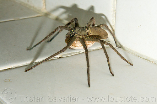 huntsman spider with egg sac (philippines), egg sac, giant crab spider, heteropoda venatoria, huntsman spider, philippines, sparassidae