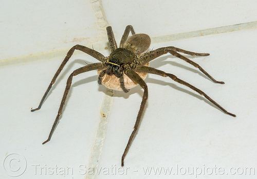huntsman spider with egg sac (philippines), arachnide, egg sac, giant crab spider, heteropoda venatoria, huntsman spider, philippines, sparassidae