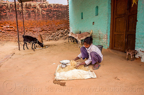 indian girl preparing fodder for her goats, fodder, goats, green house, india, khoaja phool, preparing, squatting, village, woman, खोअजा फूल
