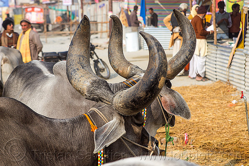 indian cows with big horns - kankrej cattle, hare krishna, iskcon, kumbh mela, kumbha mela, maha kumbh, maha kumbh mela, oxes, people