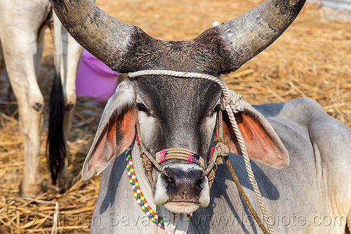 indian kankrej ox with big horns, attached, big horns, hare krishna, hindu pilgrimage, hinduism, india, iskcon, kankrej cow, lying down, maha kumbh mela, ox, resting, rope, sitting