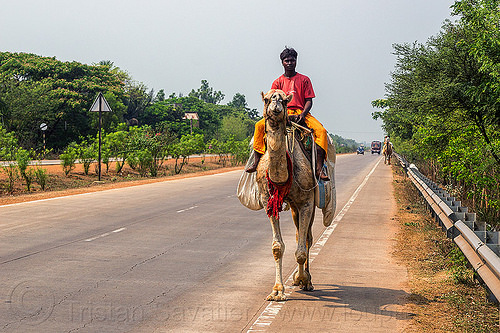 indian man riding camel on road (india), double hump camel, india, man, riding, road, walking