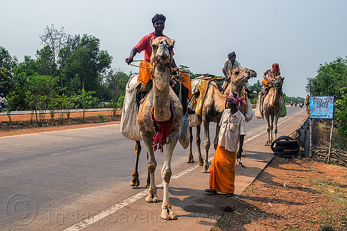 indian men traveling by camel (india), camels, double hump camels, in tow, people, riding, road, towing, walking