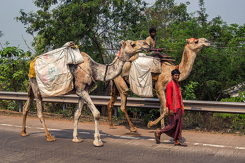 indian men traveling with their camels (india), double hump camels, in tow, men, riding, road, towing, walking