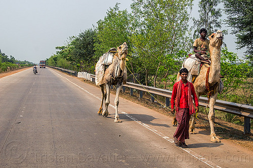 indian men with camels on the road (india), double hump camels, in tow, india, men, riding, road, towing, walking