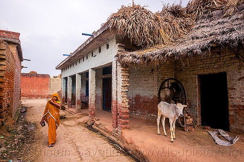 indian woman and calf in village street, baby cow, house, khoaja phool, people, water buffalo, खोअजा फूल