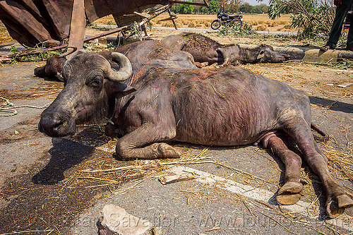 injured and dead water buffaloes after truck accident (india), carcass, cows, crash, dead, india, injured, lying, road, traffic accident, truck accident, water buffaloes