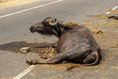injured water buffalo lying on road after truck accident (india), cow, crash, hay, lying down, traffic accident