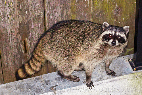 raccoon, night, nocturnal, procyon lotor, raccoon, urban wildlife