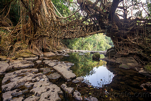 jingmaham living root bridge - mawlynnong (india), banyan, east khasi hills, ficus elastica, footbridge, jingmaham, jungle, living root bridge, mawlynnong, meghalaya, rain forest, river bed, rocks, roots, strangler fig, trees, wahthyllong, water