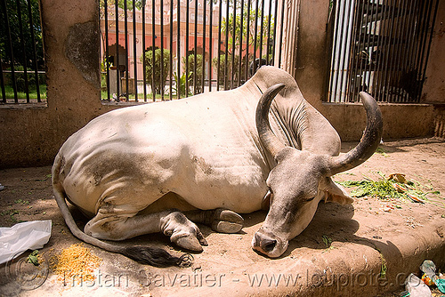 kankrej cow sleeping in the street - delhi (india), delhi, india, kankrej cow, lying down, ox, resting, sleeping, street cow
