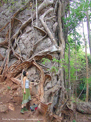 karstic area - strangler fig tree roots on rock - thailand, ficus, roots, strangler fig, thailand, tree