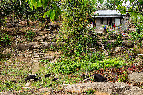 khasi village (india), east khasi hills, house, india, jungle, mawlynnong, meghalaya, piglets, pigs, rocks, steps, trail, trees, village