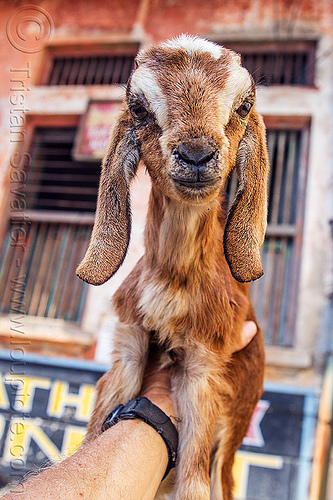 kid - baby goat in my hand, baby goat, goat kid, hand, india, varanasi