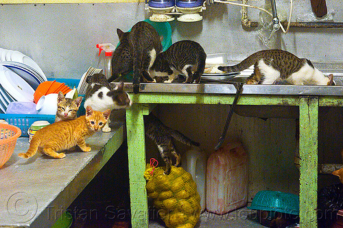 kittens doing the dishes, borneo, cats, dishes, ginger kitten, kitchen, kittens, mackerel tabby, malaysia, tabby cat