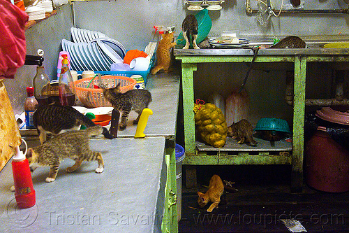 kittens in the kitchen, borneo, cats, dishes, kitchen, kittens, mackerel tabby, malaysia