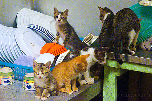 kittens on the dishes, cats, kitchen, mackerel tabby