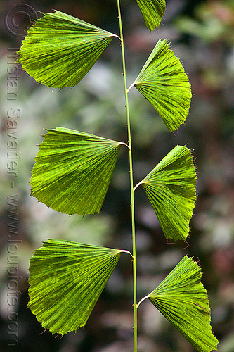 korthalsia palm - fan-shaped leaves, borneo, flabellate, gunung mulu national park, jungle, korthalsia, leaves, malaysia, palm, plant, rain forest