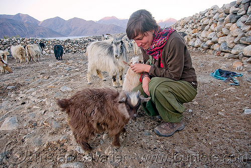 laia playing with baby goats - pangong lake - ladakh (india), baby goats, changthangi, goat kids, india, ladakh, laia, pashmina, spangmik, woman