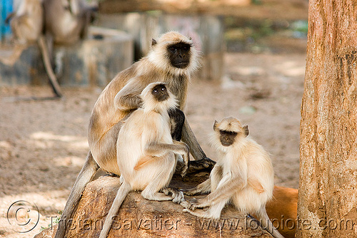 langur black-faced monkeys (india), black-faced monkeys, gray langur, semnopithecus entellus, sitting, three, wildlife