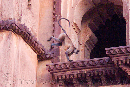 langur monkeys in temple - orchha (india), black-faced monkey, chatarbhuj temple, chaturbhuj mandir, gray langur, india, ledge, orchha, semnopithecus entellus, wildlife