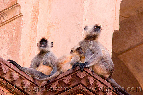 langur monkeys in temple - orchha (india), black-faced monkey, chatarbhuj temple, chaturbhuj mandir, gray langur, india, orchha, semnopithecus entellus, wildlife