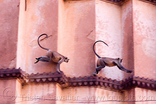 langur monkeys in temple - orchha (india), black-faced monkey, chatarbhuj temple, chaturbhuj mandir, gray langur, hindu temple, hinduism, india, ledge, orchha, running, semnopithecus entellus, wildlife