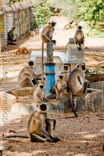 langur monkeys on hand pump (india), black-faced monkey, colony, gray langur, india, semnopithecus entellus, sitting, water hand pump, wildlife