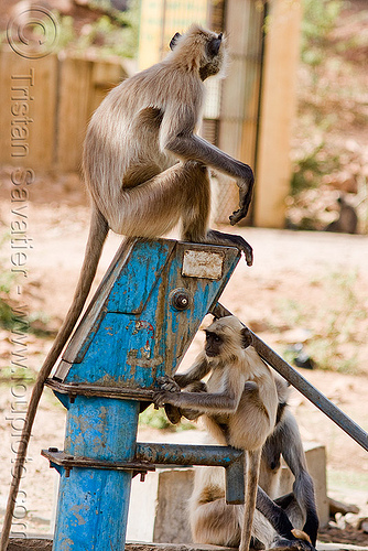 langur monkeys on hand pump - (india), black-faced monkey, gray langur, india, semnopithecus entellus, water hand pump, wildlife