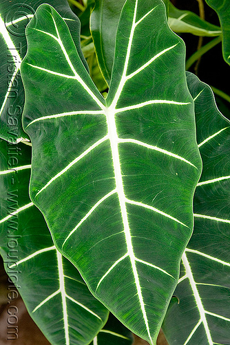 large leaf - tropical  plant, alocasia micholitziana sander, leaf veins, leaves, plant, tropical