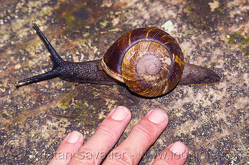 large snail, fingers, gunung mulu national park, hand, snail, wildlife