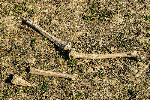 leg bones, human skeletal remains in ganges flood plain, india, Skeleton