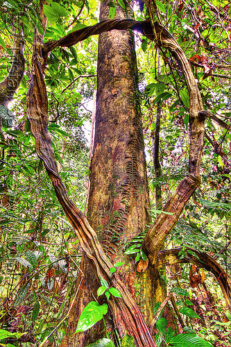 liana loop, backlight, jungle, liana, loop, plants, rain forest, sepilok orang utan sanctuary, tree trunk