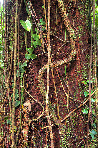 lianas on tree trunk, borneo, creepers, gunung mulu national park, jungle, lianas, malaysia, plant, rain forest, tree trunk