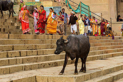 line of hindu pilgrims walking on the ghats of varanasi (india), ghats, india, line, row, steps, street cow, varanasi, walking, water buffalo