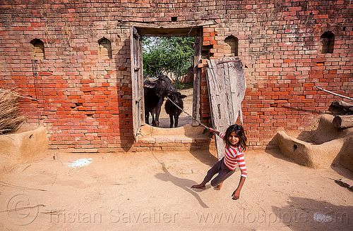 little girl pulling water buffalo (india), adobe floor, baby cow, brick wall, broken door, calf, chain, child, earthen floor, khoaja phool, kid, leach, little girl, manger, pulling, village, water buffalo, wooden door, खोअजा फूल