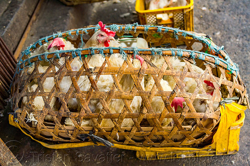 live chickens in bamboo cage, baguio, bamboo cage, chickens, philippines, pinikpikan, poultry