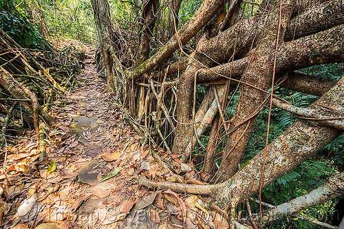 living root bridge - east khasi hills (india), banyan, east khasi hills, ficus elastica, footbridge, india, jungle, living root bridge, mawlynnong, meghalaya, rain forest, roots, strangler fig, trail, trees