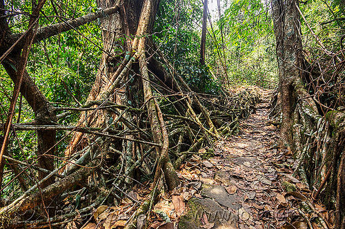 living root bridge in the jungle (india), banyan, east khasi hills, ficus elastica, footbridge, india, jungle, living root bridge, mawlynnong, meghalaya, rain forest, roots, strangler fig, trail, trees