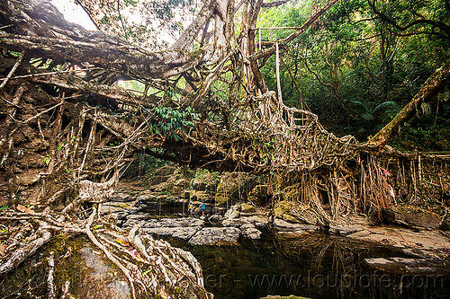 living root bridge spans over stream - mawlynnong (india), banyan, east khasi hills, ficus elastica, footbridge, india, jingmaham, jungle, living root bridge, mawlynnong, meghalaya, rain forest, river, roots, strangler fig, trees, wahthyllong
