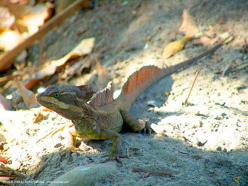 reptile - lizard - basilisk - basiliscus, basiliscus, basilisk, costa rica, lizard, reptile, reptilian